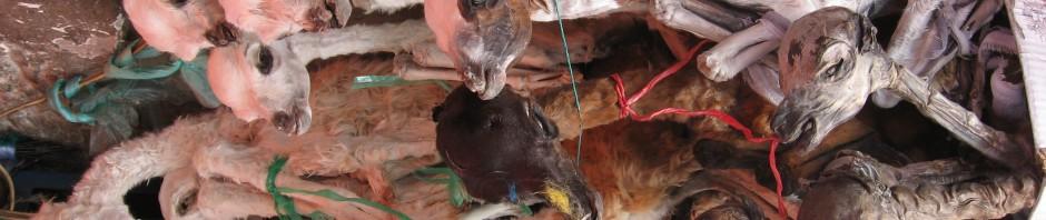 Foetus de lama ( a enterrer sous sa maison pour porter bonheur)